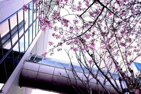 ホテルスプリングス河津桜-02.jpg