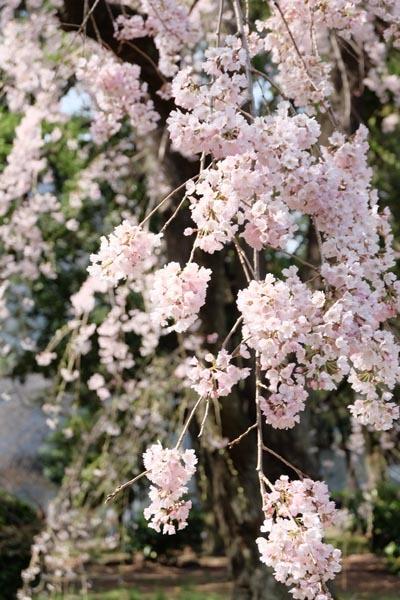 東京国立博物館庭園開放_庭園桜-11.jpg