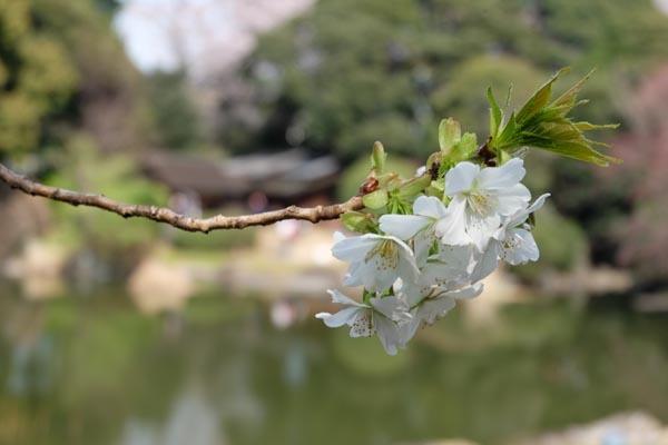 東京国立博物館庭園開放_庭園桜-12.jpg