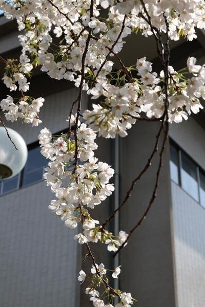 東京国立博物館庭園開放_庭園桜-13.jpg