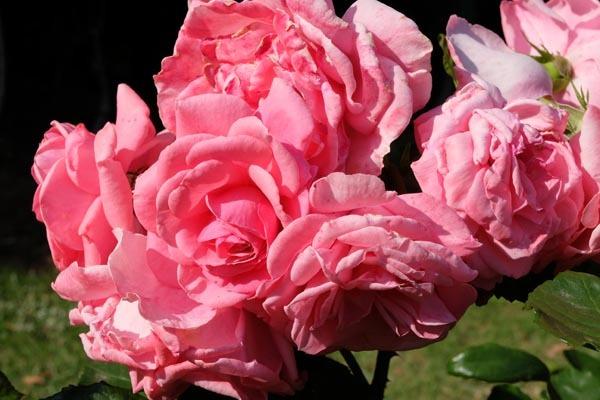 RoseFair_redrose-03.jpg