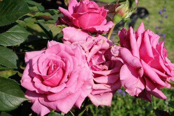 RoseFair_redrose-05.jpg