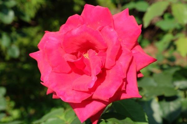 RoseFair_redrose-06.jpg
