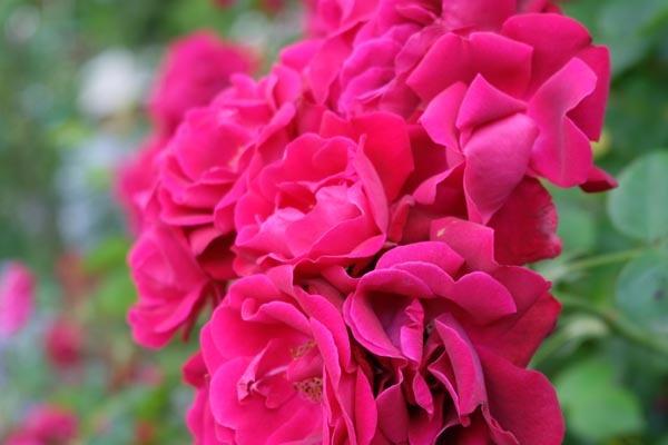 RoseFair_redrose-07.jpg