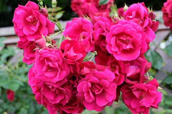 RoseFair_redrose-08.jpg