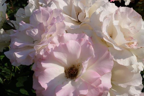 RoseFair_whiterose-08.jpg
