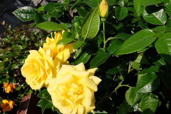 RoseFair_Yellowrose-10.jpg