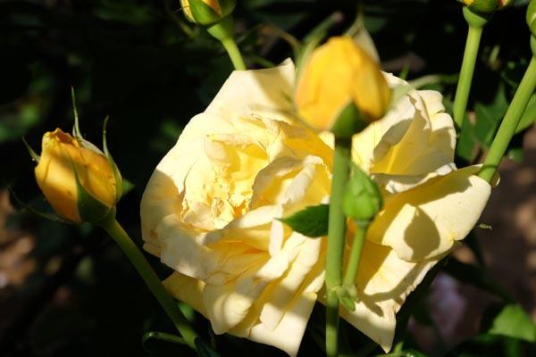 RoseFair_Yellowrose-11.jpg