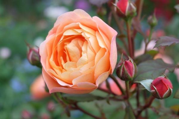 RoseFair_Yellowrose-12.jpg