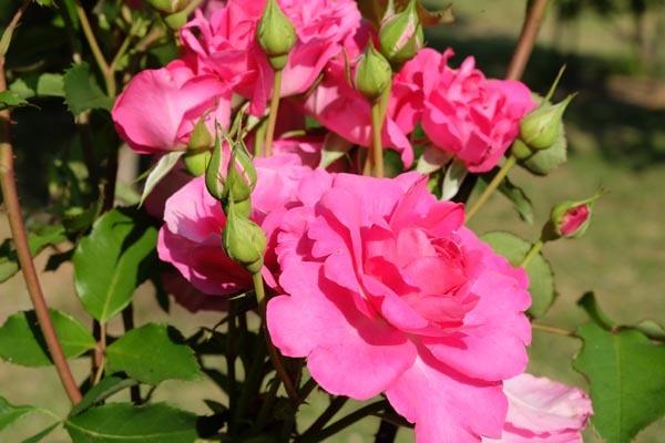 RoseFair_redrose-04.jpg