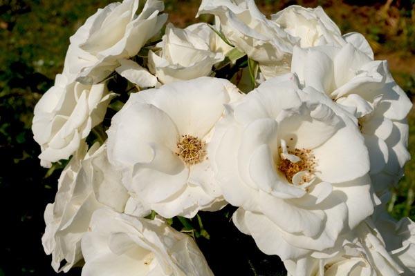 RoseFair_whiterose-07.jpg