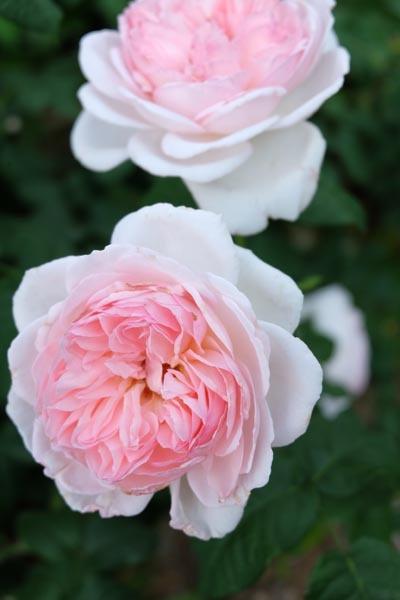RoseFair_whiterose-09.jpg